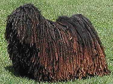 Dog with a mopful of hair covering his entire body.