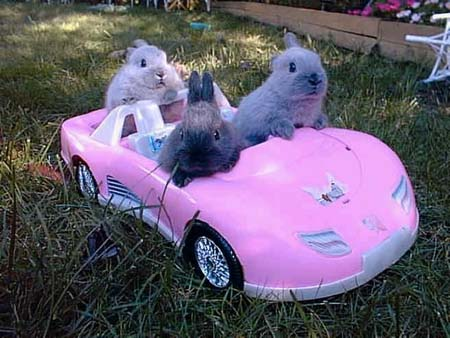 Cute bunnies riding a pink toy car.