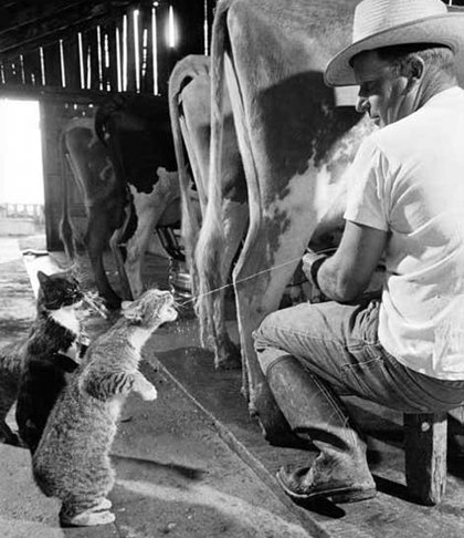 Cats love to drink fresh cows milk.