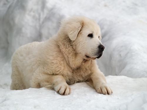 Slovak Cuvac dog in the snow.