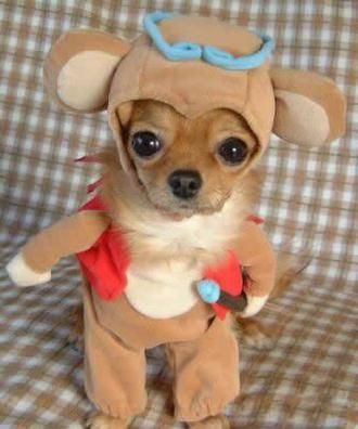 Chihuahua wearing the cutest dog costume.