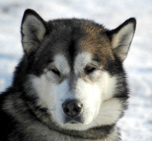 Alaskan malamute dog.