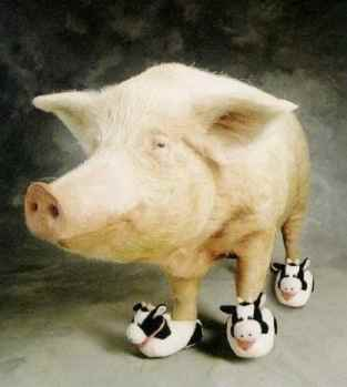 Pig wearing cute little cow shoes.