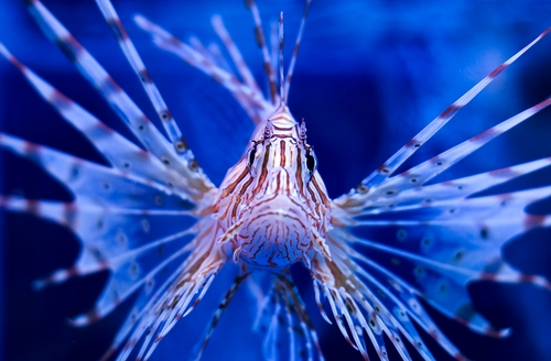 Lion Fish. with dangerous spines.