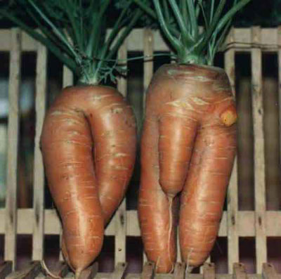 Pair of carrots shaped like two sexy bodies.