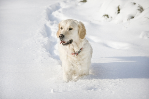 Funny picture of a golden retriever walking in the snow.