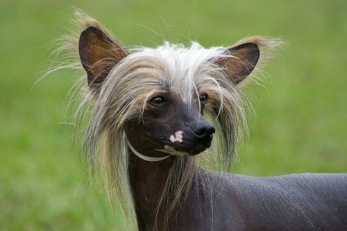 Funny picture of a chinese crested dog.