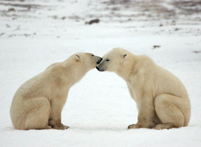 Love between a pair of polar bears.