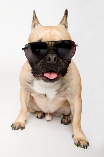 Cute picture of french bulldog wearing shades.