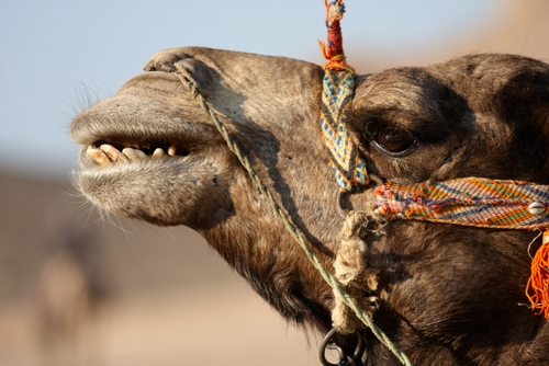 Cool picture of a smiling camel.