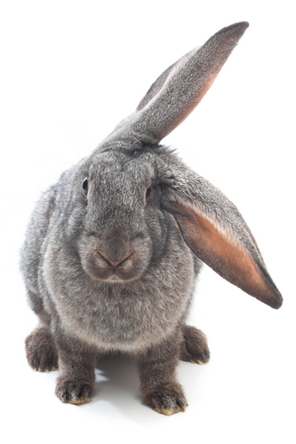 Adorable picture of a floppy ear bunny.