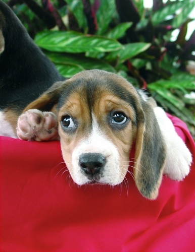 Purebreed beagle puppy.