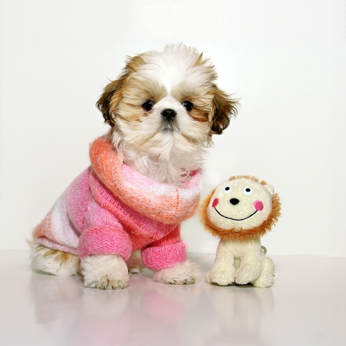 Shih Tzu with teddy bear.