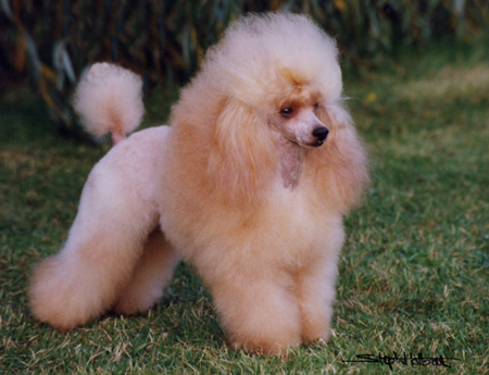 Cute poodle all groomed up.