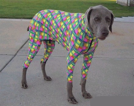 Dog wearing a funny colorful jumpsuit.